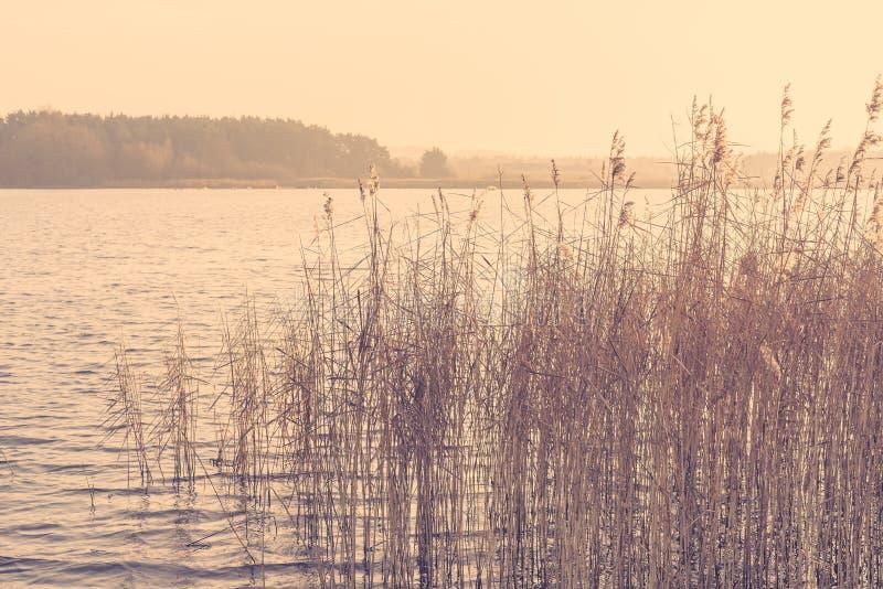 Reed por um lago no nascer do sol da manhã foto de stock royalty free
