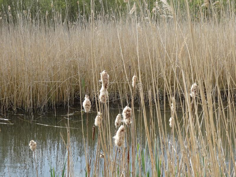 Reed Puddle Dutch Landscape stock afbeelding