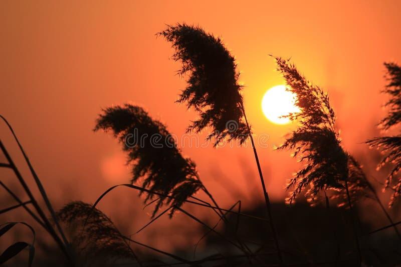 Reed reflète le coucher de soleil image stock