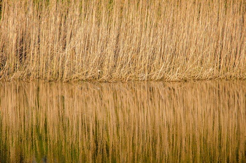 Reed reflection stock image