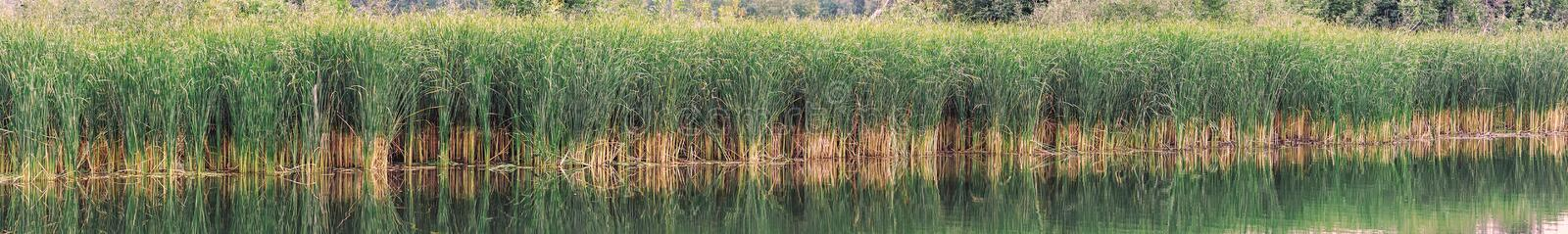 Reed, sedge or reed on lake or pond stock images