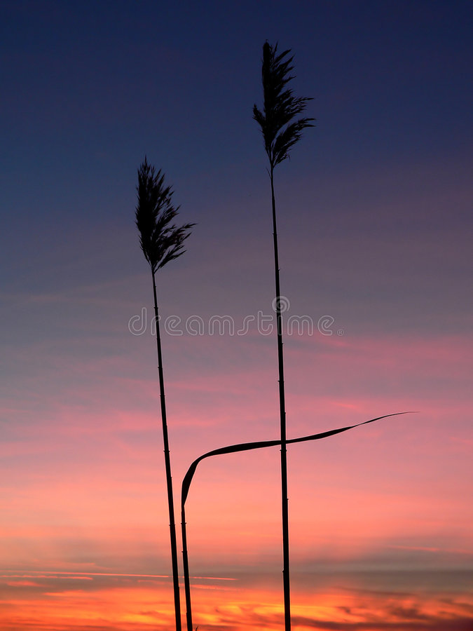 Reed Silhouettes Stock Photos