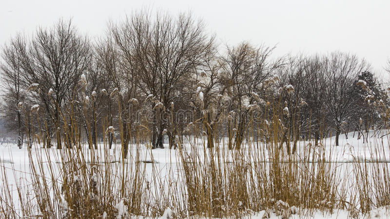 Reed. Situated near the frozen lake at AIC Park royalty free stock photography