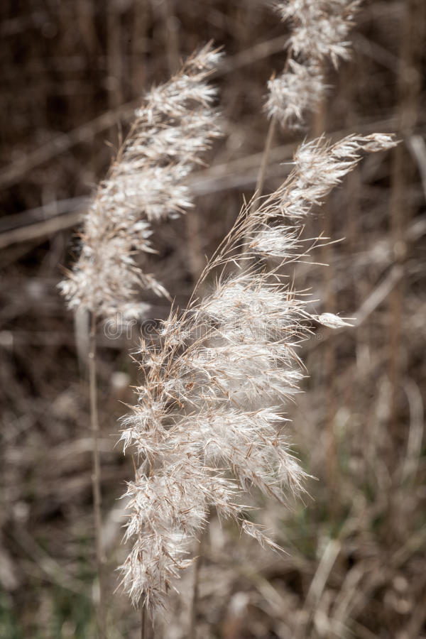 Reed in springtime. Close-up of reed in sunlight royalty free stock photos