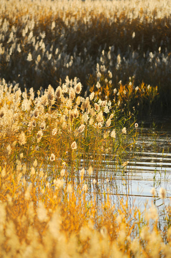 Free Reed Stalks In The Swamp Royalty Free Stock Image - 16695756