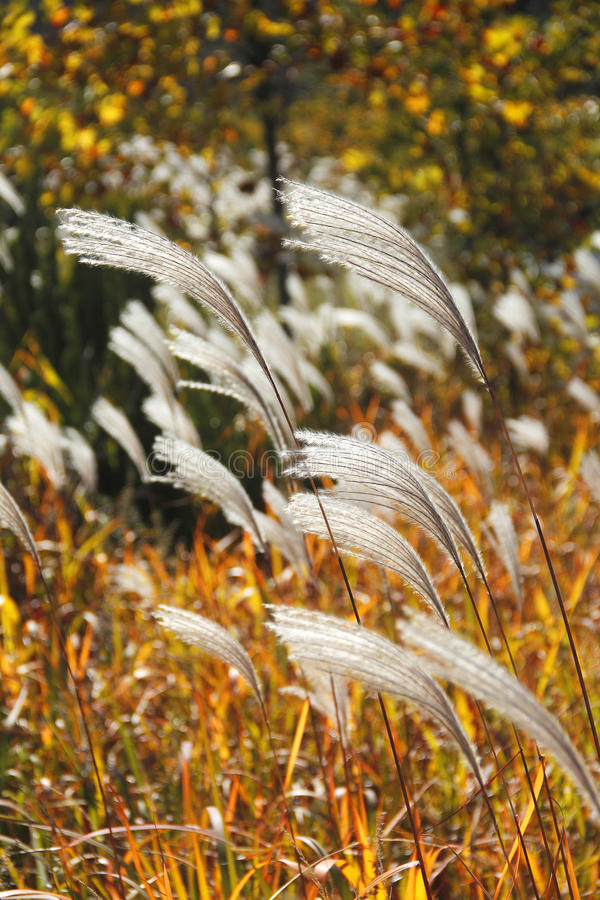 Reed. Stalks in the sunlight stock images