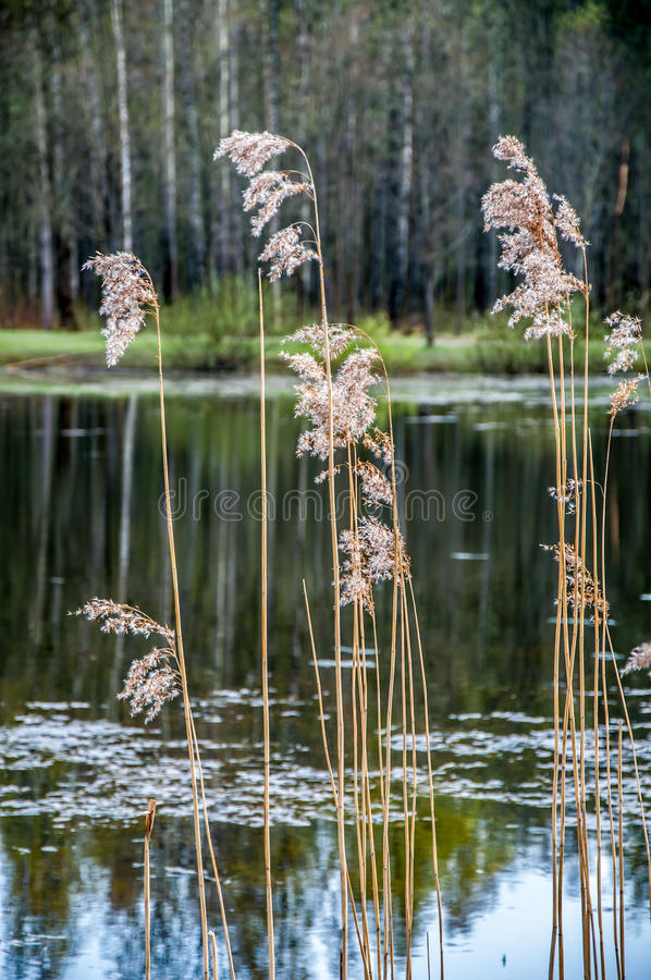 Reed stalks in the water stock photo