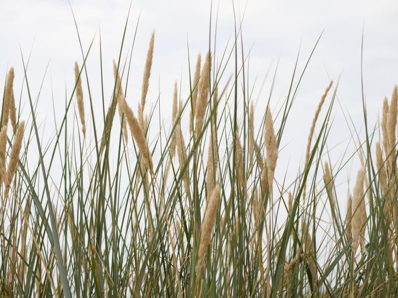 Reed su una duna fotografia stock