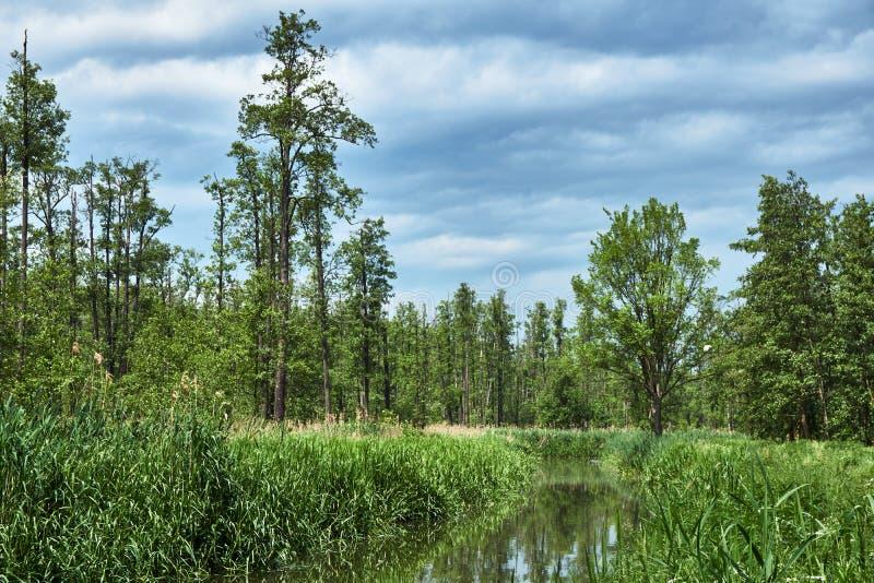Reed sulla banca di piccolo fiume in una foresta fotografie stock libere da diritti