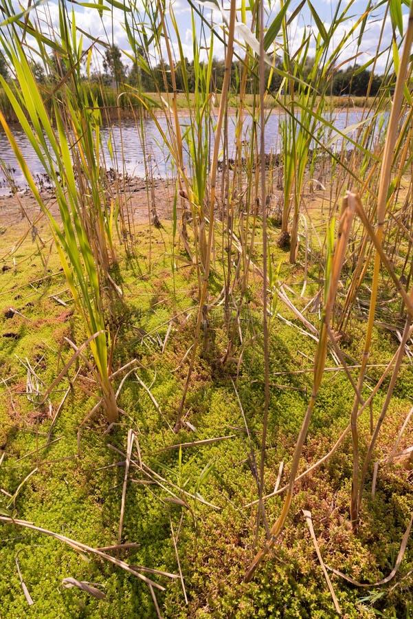Reed in Sumpf stockfotografie