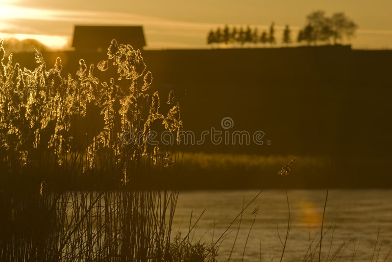 Reed in the sundown royalty free stock photo