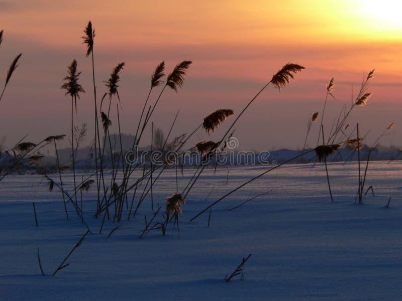 Reed on sundown royalty free stock photo