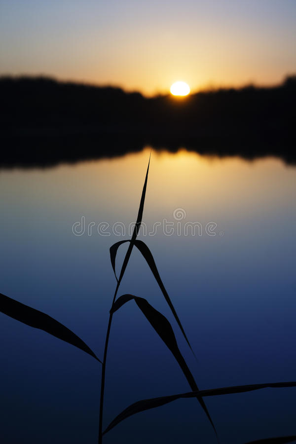 Reed in the sunset royalty free stock photos