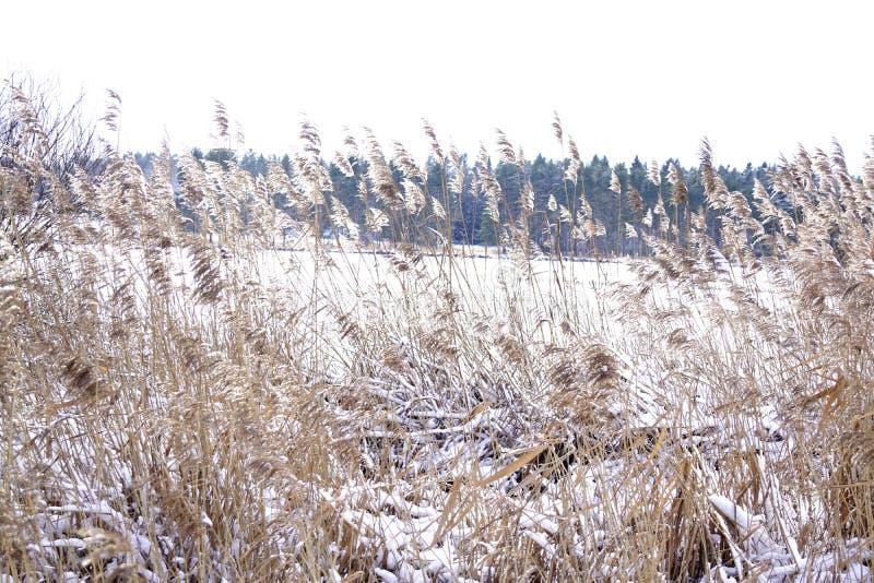 Reed, Teich und grauer Himmel stockbild