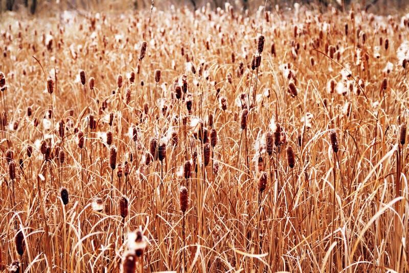 Reed texture. Autumn. Yellow. Background stock photo