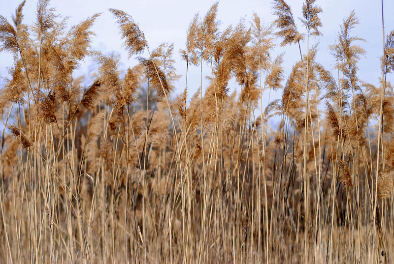 Reed. Texture with dry reed with sky background stock images