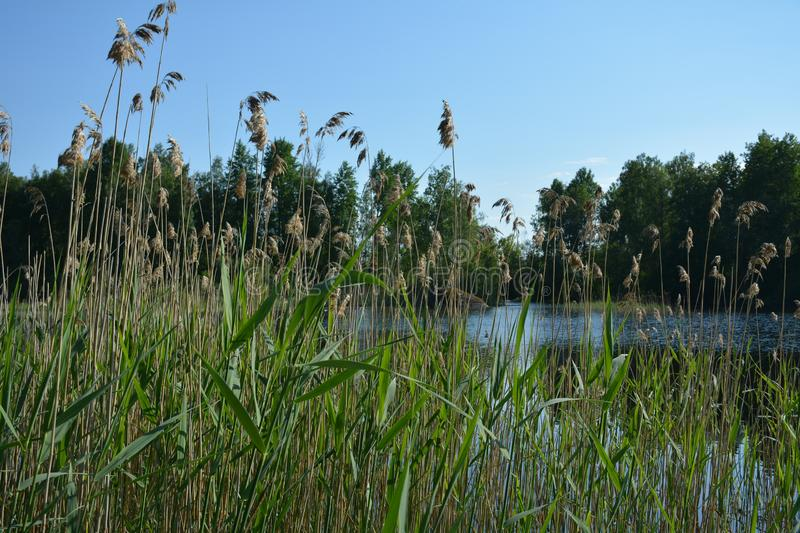 Reed thickets on the background of the lake. Big gray stone hid in water behind green high reed stock photos
