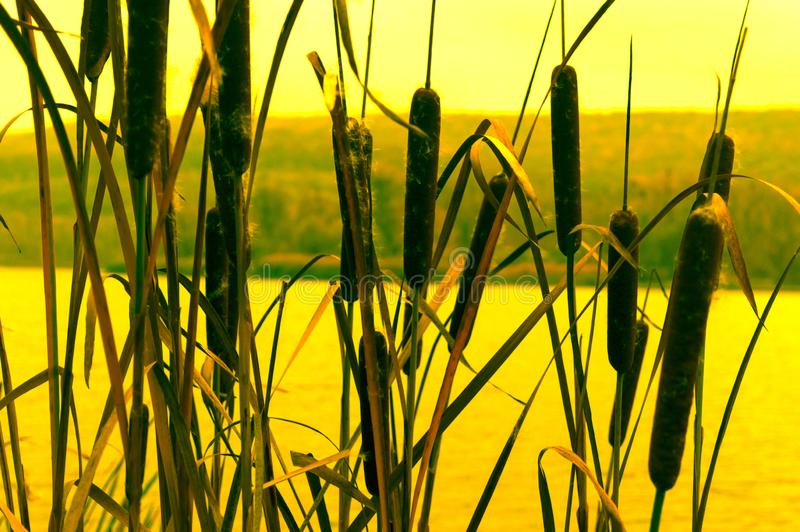 Reed thickets at sunset on the lake royalty free stock photo