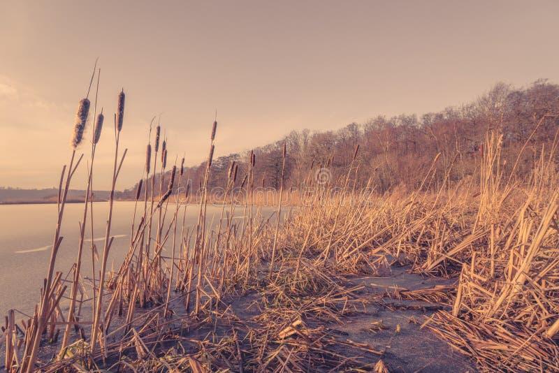 Reed in un lago congelato fotografia stock libera da diritti