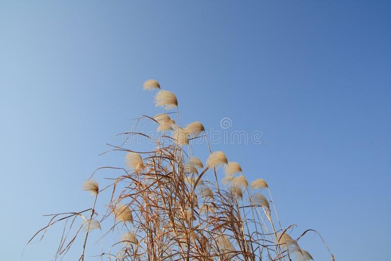 Reed under blue sky