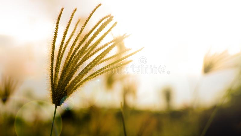 Reed vor Sonnenuntergang stockfoto