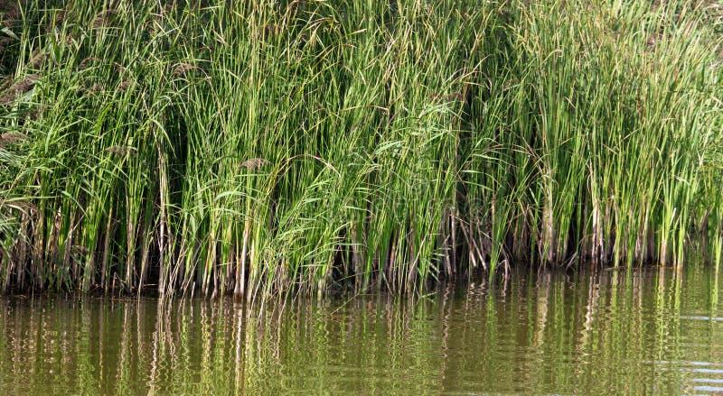 Reed wächst im Wasser auf einem Teich stockfotos