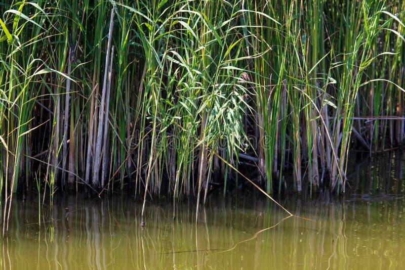 Reed wächst im Wasser auf einem Teich stockbilder