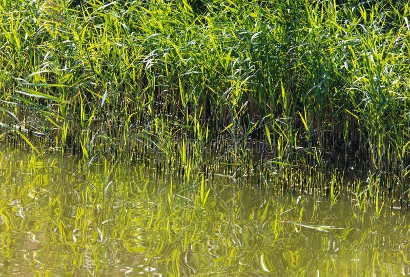 Reed wächst im Wasser auf einem Teich lizenzfreie stockfotografie