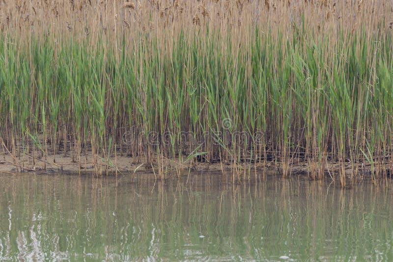 Reed w?chst auf dem Ufer des Sees lizenzfreies stockfoto