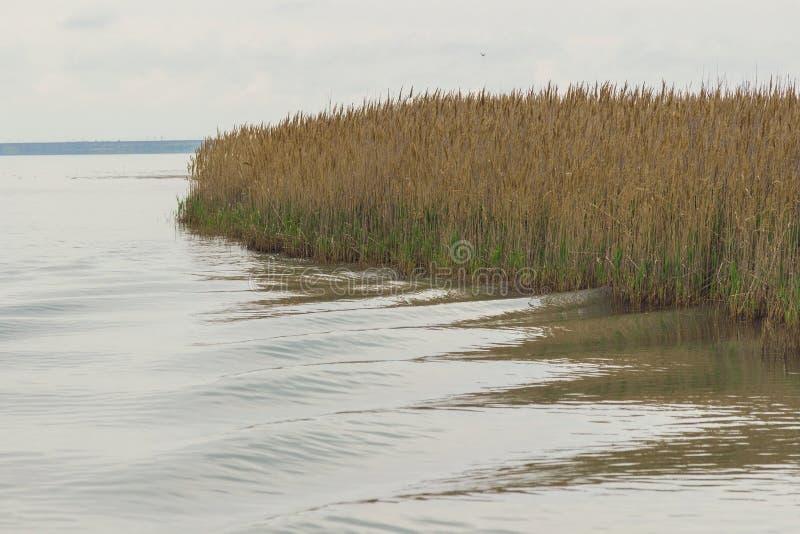 Reed w?chst auf dem Ufer des Sees Spur auf dem Wasser vom Boot stockfotografie