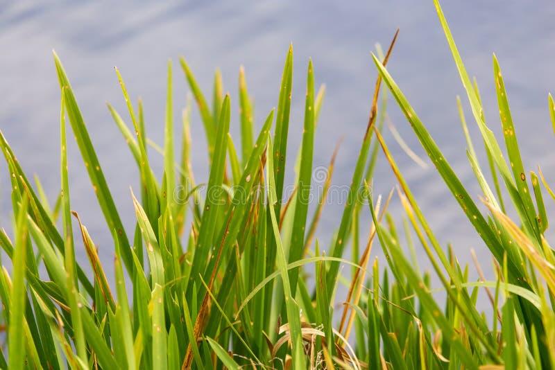 Reed w?chst auf einem Teich im Herbst stockbilder