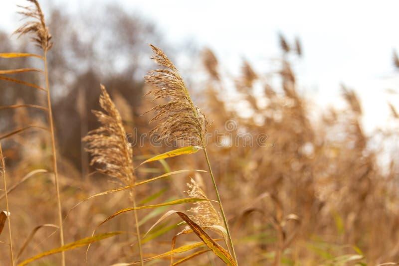 Reed w?chst auf einem Teich im Herbst lizenzfreie stockbilder
