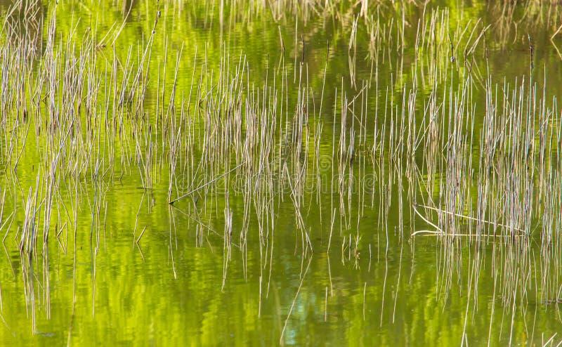 Reed w?chst im Teich als Hintergrund stockbild