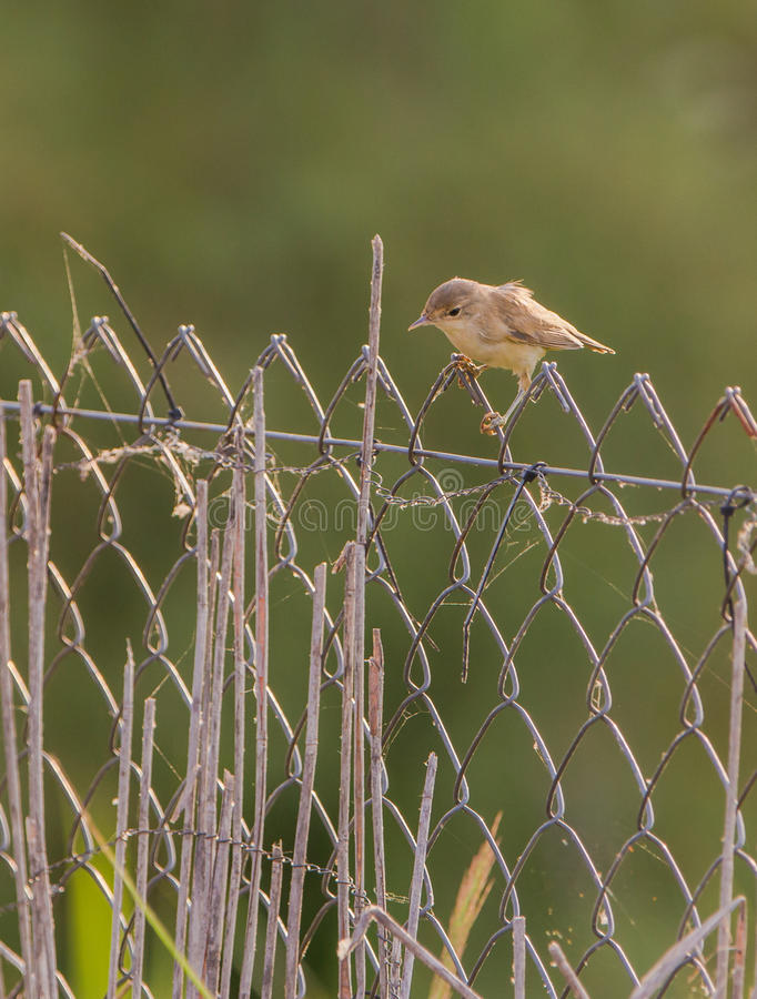 Reed Warbler with backlight royalty free stock photo