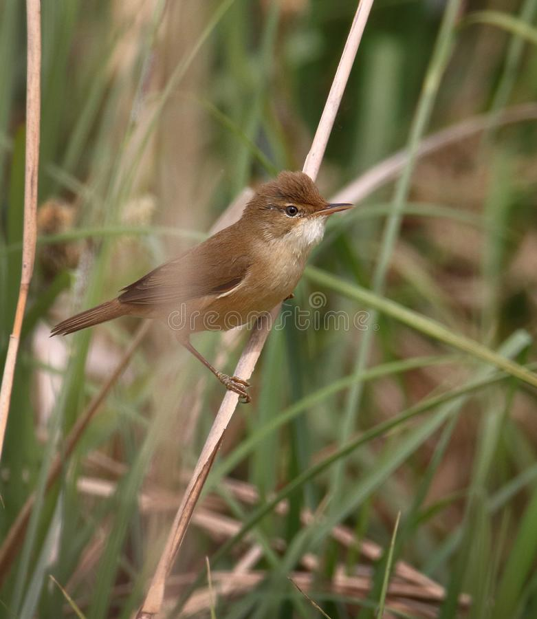 Reed Warbler Perched On Reed fotos de archivo