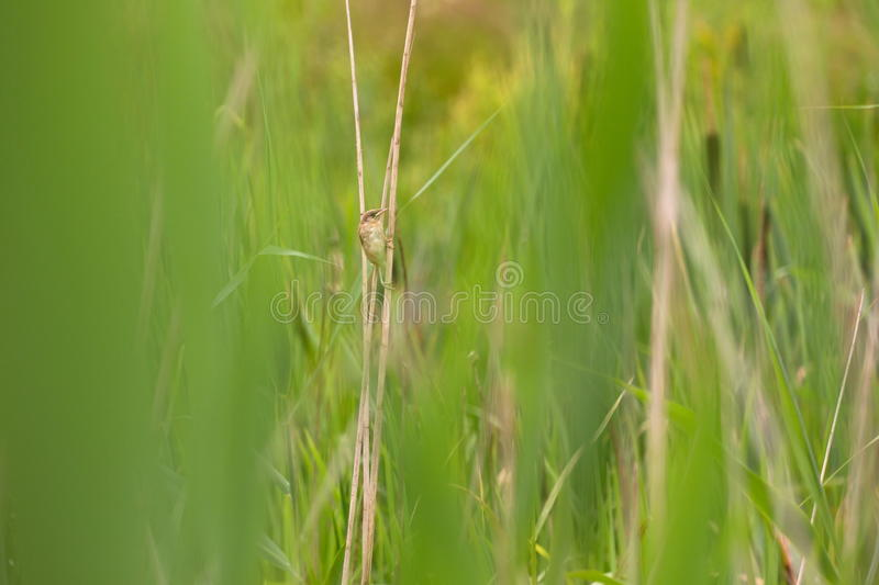 Reed warbler sits among the reeds. Netherlands royalty free stock photo