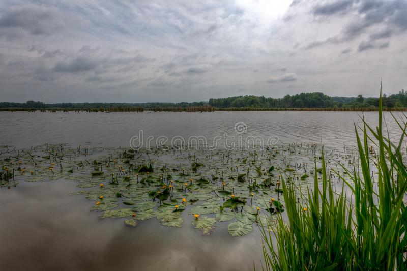 Reed water lilies lake, het Vinne, Zoutleeuw, Belgium. Reed and water lilies on the banks or shores of a lake at the Vinne nature reserve in Zoutleeuw, Belgium stock photography