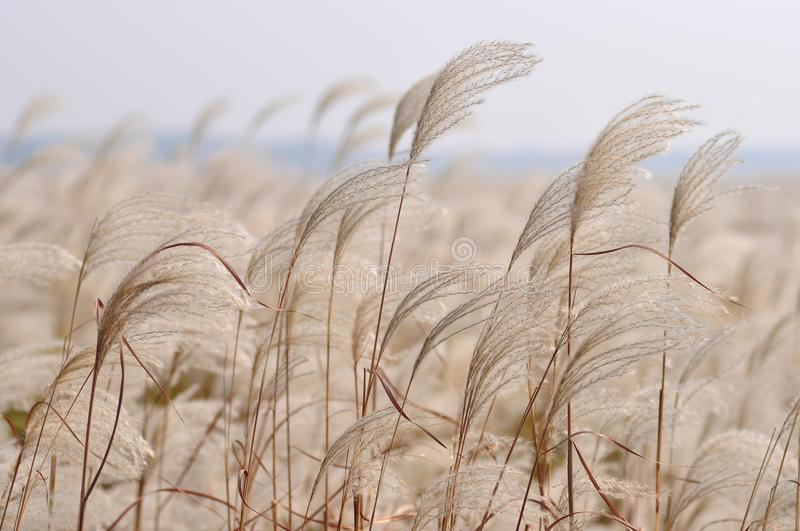 Reed in the wind. By close-up photography stock images