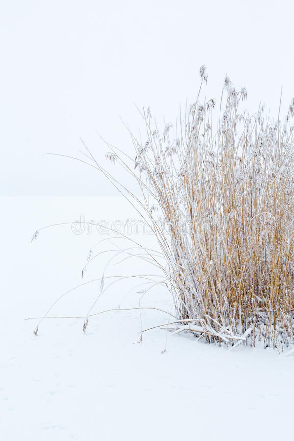 Reed at winter with frost stock photography