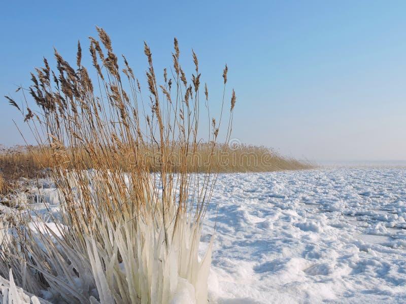 REEDanlage im Eis auf Seeküste stockbilder