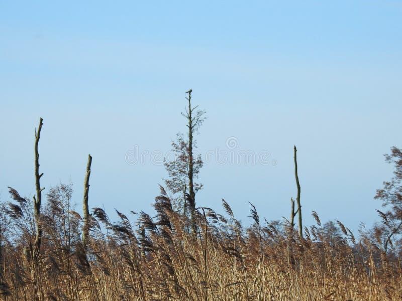 REEDanlage und -vogel auf Wipfel, Litauen stockfotografie