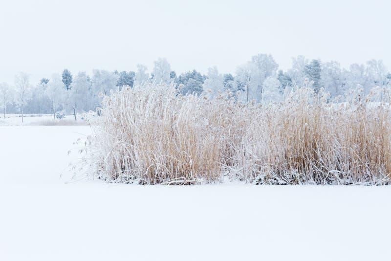 Reedbed congelado em um lago imagens de stock