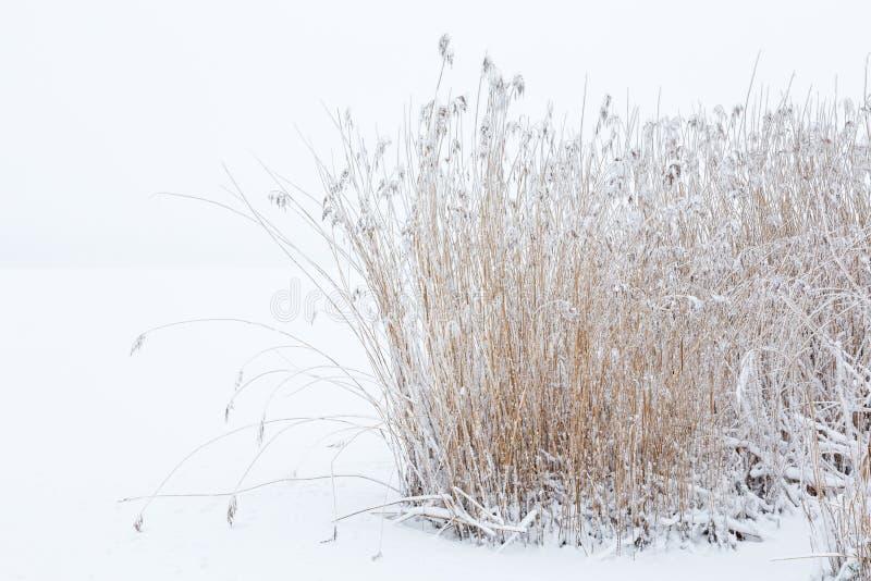 Reedbed congelado no inverno fotos de stock
