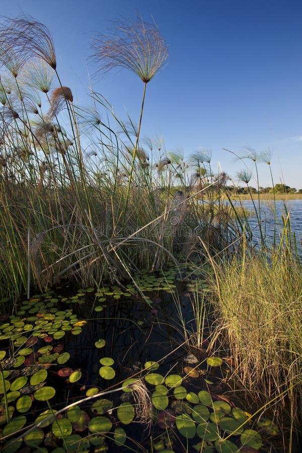 Reedbeds - Okavango Delta - Botswana stock images
