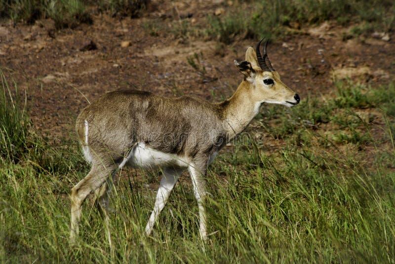 Reedbuck de la montaña, Suráfrica foto de archivo libre de regalías