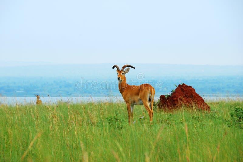 Reedbuck do antílope no lago Albert, Uganda foto de stock royalty free