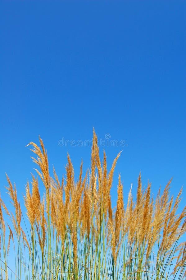 Reedbusch stockfoto