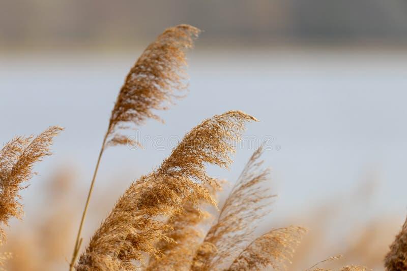 REEDgras in der Bl?te, wissenschaftlicher Name Phragmites australis, absichtlich verwischt, leicht beeinflussend in den Wind auf  lizenzfreies stockfoto