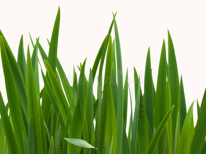 Download Reeds stock photo. Image of free, wetland, pointed, reeds - 14236052