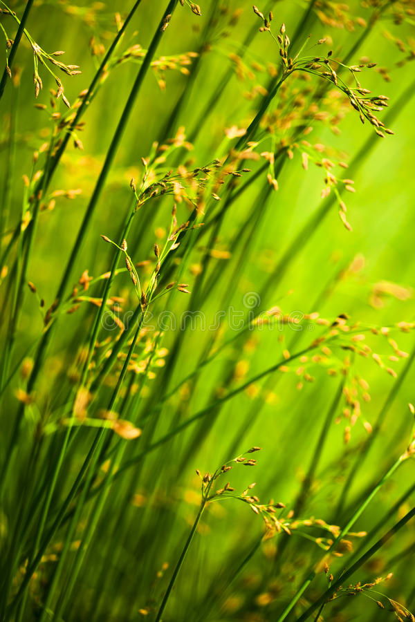 Free Reeds Stock Image - 14638741